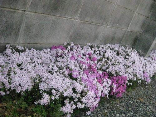 我が家の芝桜ちゃん